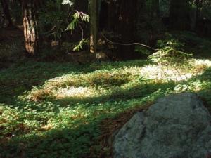 Mill Creek Trail Shamrocks, Kathryn Arnold, 11-22-09