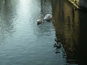 bruges canal with swans, january 3, 2010